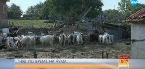 ГНЯВ ПО ВРЕМЕ НА ЧУМА: Умъртвиха над 3000 животни в засегнатите райони (ВИДЕО)