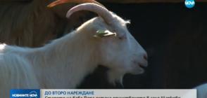 ДО ВТОРО НАРЕЖДАНЕ: Стадото на баба Дора остана единственото в Шарково (ОБЗОР)