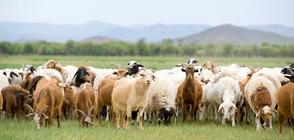Две са стадата, в които има констатирана положителна проба за чума (ВИДЕО)