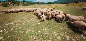 Преведени са над 1 млн. лева за стопанствата с евтаназирани животни
