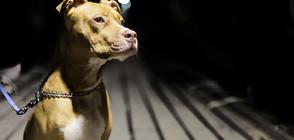ПИТБУЛИ РАЗКЪСВАТ СОБСТВЕНИКА СИ: Опасни кучета или опасни стопани?