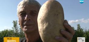 Мъж извади гигантски картоф с тегло 1.245 кг (ВИДЕО)