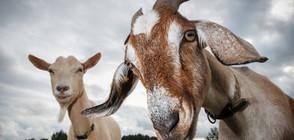 Метрото в Ню Йорк спря заради кози на релсите (ВИДЕО)