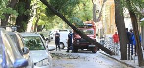 Дърво падна на улица в центъра на София (СНИМКИ)