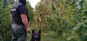 Инспектор от БАБХ отглеждал плантация с канабис (ВИДЕО+СНИМКИ)