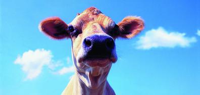 СПАСИТЕЛНА АКЦИЯ: Пожарникари извадиха 11 крави и телета от водоем