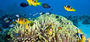 Природозащитниците отглеждат корали на Сейшелските острови