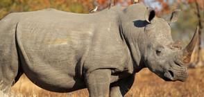 Пращат носорог от Единбург на любовна експедиция в Индонезия