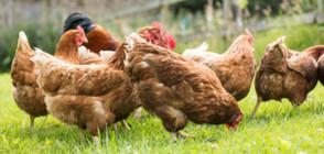 Откриха огнище на птичи грип в хасковско село