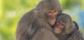 60% от приматите по света са застрашени от изчезване