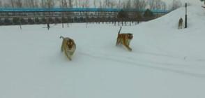 Пълнички сибирски тигри гонят електронна птица (ВИДЕО)