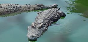 Индонезийци, въоръжени с ножове, чукове и тояги, убиха 292 крокодила