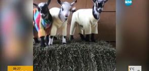 Козленца си правят пижамено парти (ВИДЕО)