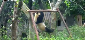 Панди демонстрират фитнес умения (ВИДЕО)