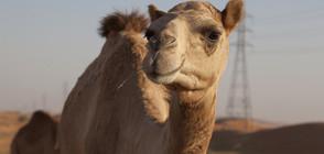 Двугърби камили се разхождат в Перник (ВИДЕО)