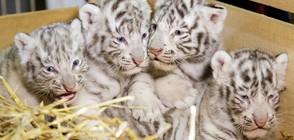 Четири бели тигърчета се родиха в австрийски зоопарк (ВИДЕО+СНИМКИ)