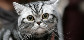 Котки мерят сили на конкурс за красота в София