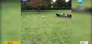 """""""Глутница"""" овце подгониха куче, което трябва да ги пази"""