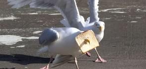 Чайка заклещи клюна си във филия хляб (СНИМКИ)