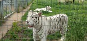 Тигър уби служителка на зоопарк във Великобритания (ВИДЕО)