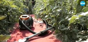 """""""Пълен абсурд"""": Да чистиш с прахосмукачка край доматите (ВИДЕО)"""