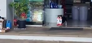 Куче всеки ден ходи до магазина, за да си взима храната (ВИДЕО+СНИМКИ)