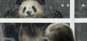 ПУХКАВИ ГОСТИ: Берлин приветства две панди, наети от Китай (СНИМКИ)
