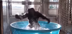 Горила стана интернет сензация с радостен танц в студена вода (ВИДЕО)