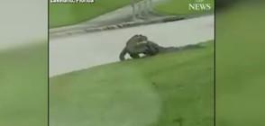 Огромен алигатор пресече оживена улица във Флорида (ВИДЕО)