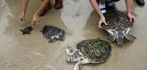 ЗАРАДИ КРАЛЯ: Пуснаха 1066 костенурки в морето в Тайланд (ВИДЕО)