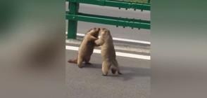 Бой на мармоти спря движението на път в Китай (ВИДЕО)