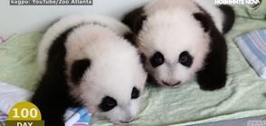 Първите сто дни от живота на пандите (ВИДЕО)