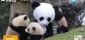 Палави панди се забавляват (ВИДЕО)