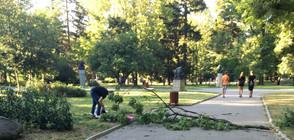 Падналото в Борисовата градина дърво изглеждало напълно здраво