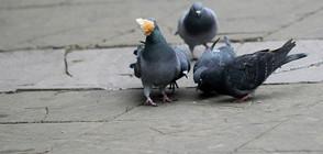 Зазидаха гълъби при саниране на блокове (ВИДЕО)
