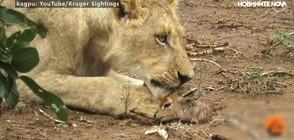 Лъвица доказа, че животните са невероятни същества (ВИДЕО)