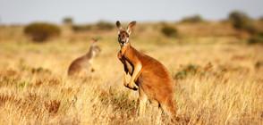 Сбиване между кенгурута беше заснето от бдителни полицаи (ВИДЕО)