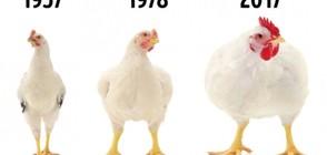 Защо пилетата стават все по-големи и какъв е истинският кетчуп (ГАЛЕРИЯ)