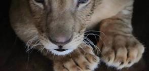 Един от лъвовете в Разград ще бъде прегледан със скенер (ВИДЕО+СНИМКИ)