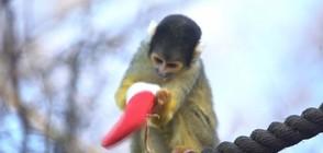 Животните от зоопарка в Лондон получиха коледните си подаръци (ВИДЕО)