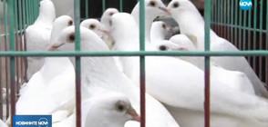 28 бели гълъба полетяха в небето над Бургас (ВИДЕО)
