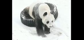 КИТАЙСКА ДИПЛОМАЦИЯ: Двойка гигантски панди пристигнаха във Финландия (СНИМКИ)