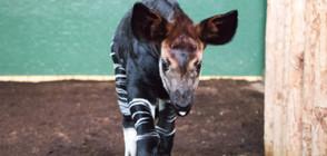 Зоопаркът в Лондон кръсти бебе окапи на Меган Маркъл (ВИДЕО+СНИМКИ)