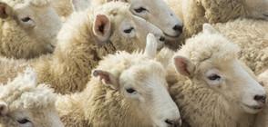 Забраниха на румънски овце да пасат край база на НАТО