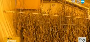 Разкриха оранжерия за отглеждане на марихуана в Панчарево
