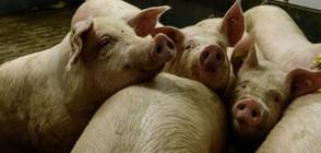 Изкуствен интелект ще управлява свинеферма