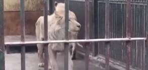 Лъв от китайски зоопарк сам откъсна половината си опашка (ВИДЕО)