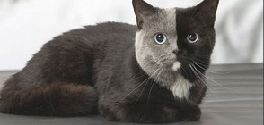 Двулика котка беше заснета във Франция (СНИМКИ)