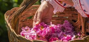СЛЕД ПРЕГОВОРИ: Преработвателите ще изкупят максимално количество розов цвят