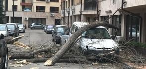 Вятърът събори 2 дървета в София, смачкани са 2 автомобила